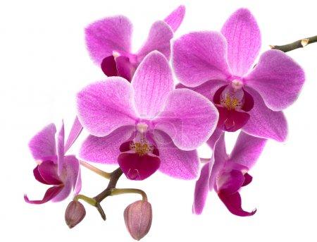 Photo pour Phalaenopsis orchidées violettes sur fond blanc - image libre de droit