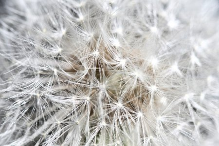 Photo for Close us image of dandilion background - Royalty Free Image