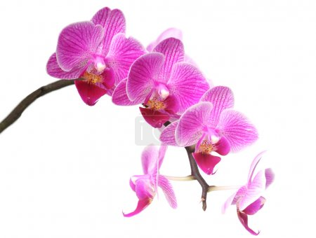 Purplr orchid on white