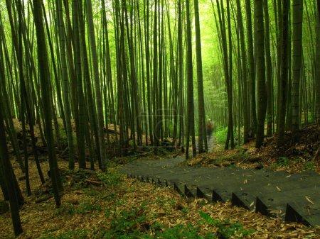 Photo pour Forêts luxuriantes de bambou sur les pentes du Mont ali, dans le sud de Taïwan - image libre de droit
