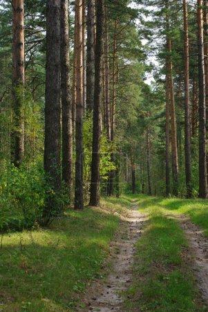 Photo pour Route dans la forêt de pins. été. - image libre de droit