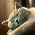 Gray short hair British cat