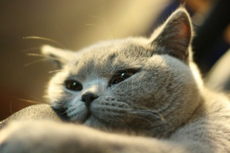 Photo pour Britanniques chat cheveux courts gris - image libre de droit