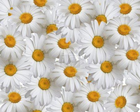 Summer background, daisies