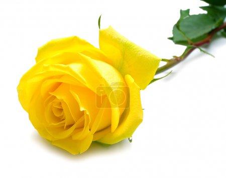 Photo pour Rose jaune aux feuilles vertes. isolation sur fond blanc. Shallow dof - image libre de droit