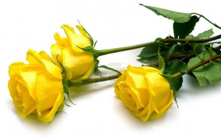 Photo for Yellow roses with green leaves on white. Shallow DOF, isolation - Royalty Free Image