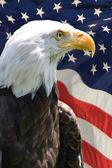 """Постер, картина, фотообои """"Американский орел"""""""