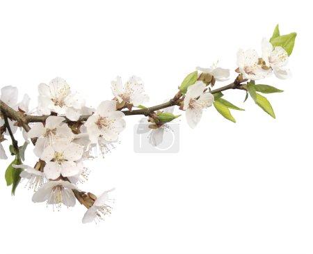 Foto de Flores de cerezo - aislado en blanco - Imagen libre de derechos