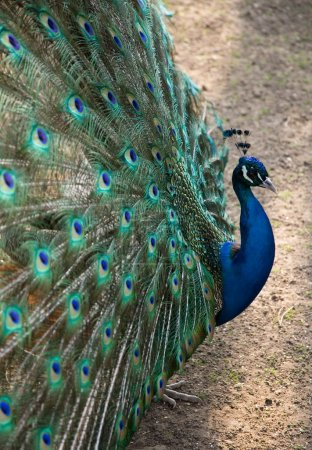 Photo for Beautiful peacock spreading its coloured tail - Royalty Free Image