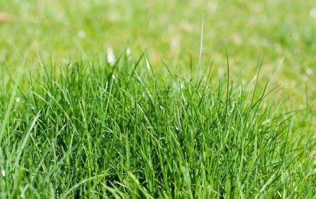 Photo pour Gros plan d'herbe verte - image libre de droit