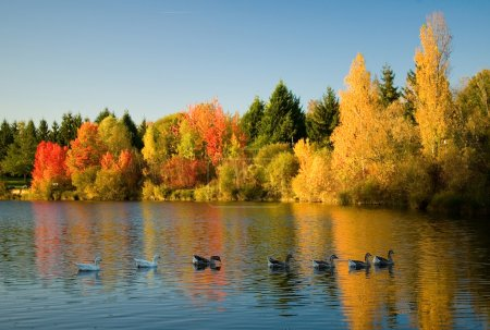 Photo for Flock of wild geese in fall forest. Focus on geese - Royalty Free Image