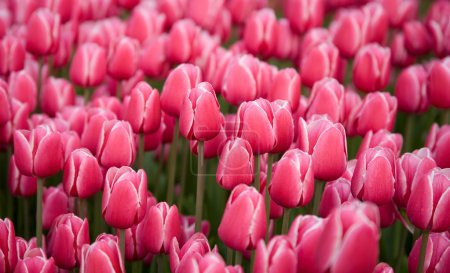 Colorful field of pink tulips