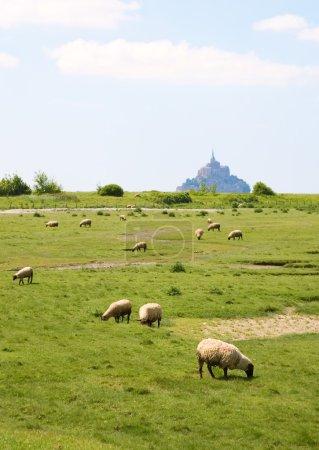 Sheep on a field near Mont Saint-Michel