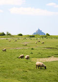 Sheep on a field near Mont Saint-Michel