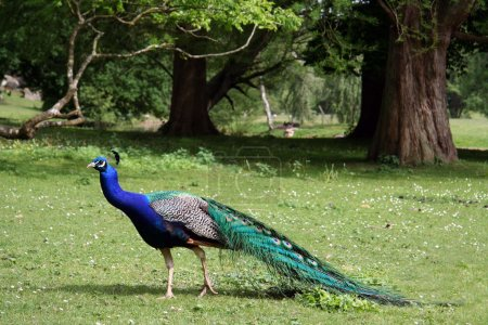 Beautiful peacock in the forest