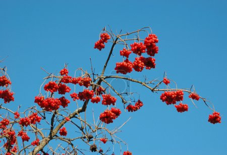 Fruits of Snowball tree