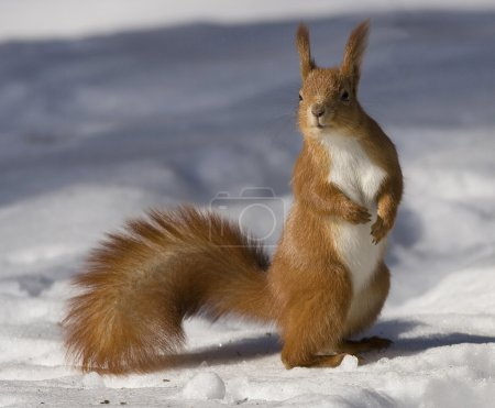 Red squirrel on a snow...