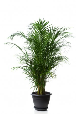 Photo for Home plant in flowerpot - Chrysalidocarpus Areca - Royalty Free Image