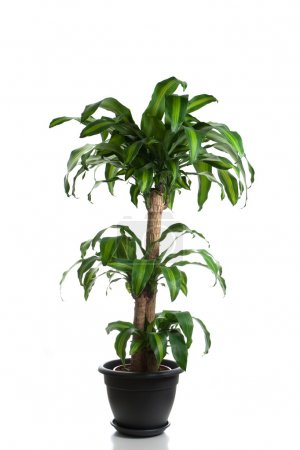 Photo for Home plant in flowerpot - Dracaena Massangeana - Royalty Free Image