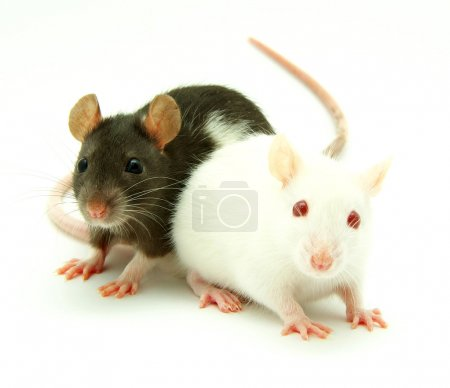 Two rats