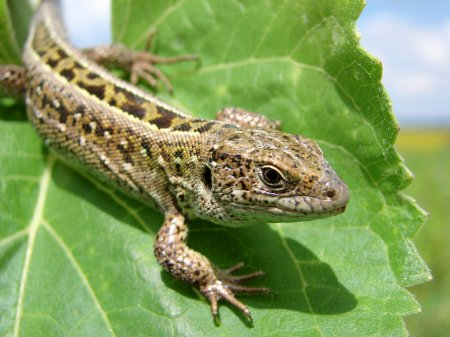 Green lizard is watching his environment...