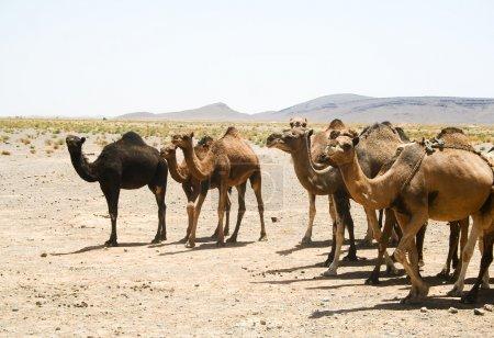 Camels in Sahara in Morocco