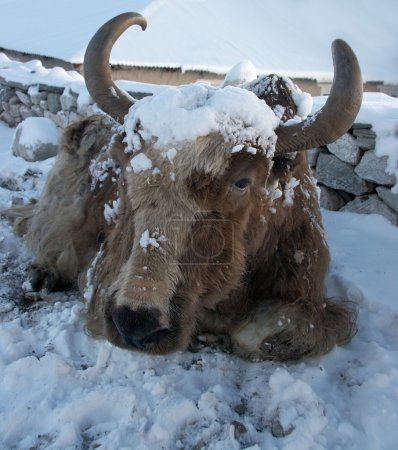 Yak after a snowfall in Himalayas, Everest region, Nepal