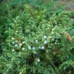 Juniper with berries...