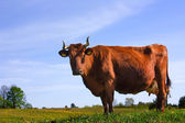 Cow against a background of blue sky, th