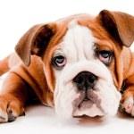 English Bulldog puppy on isolated background...