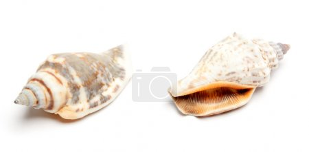 Two conches isolated on white