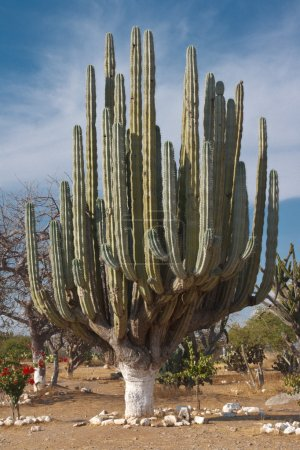 Giant cactus in Mexico