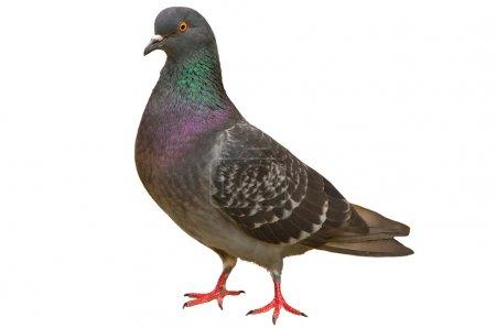 Photo pour Pigeon sur fond blanc - image libre de droit
