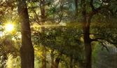 Sunrise in the oak forest