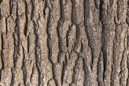 Photo for Oak tree bark. The abstract background for design. - Royalty Free Image