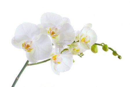 Photo pour Orchidée blanche sur fond blanc - image libre de droit