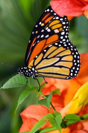 Photo pour Papillon, fleur ; fleur ; fleur, été, nectar, joliment ; joliment ; magnifiquement, pétales, insectes, dépliant ; dépliant ; hexapode, orange, macro, flore, faune , - image libre de droit