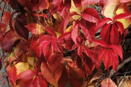Texture of autumn, wild grape