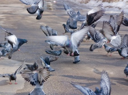 Pigeons on wing