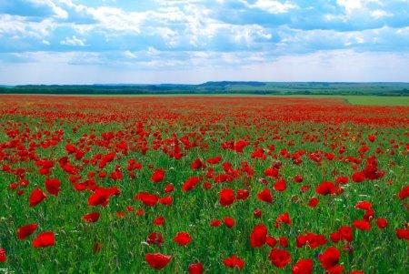 Contrast poppy meadow