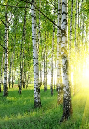Photo for Birch trees in a summer forest under bridht sun - Royalty Free Image