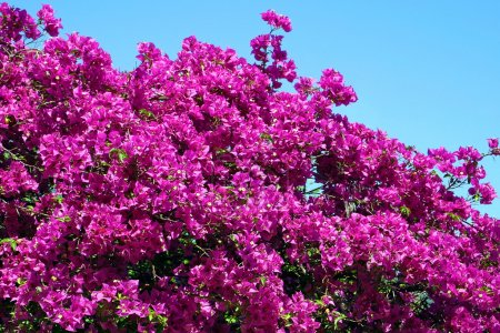 Bush of Bougainvillea flowers