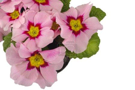 Pink daisy in soil