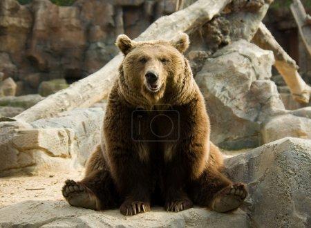 Photo pour Ours brun assis calmement dans une pose drôle sur un rocher - image libre de droit