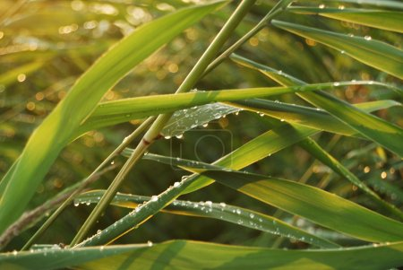 Green cane
