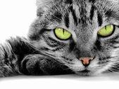 """Постер, картина, фотообои """"Зеленоглазая кошка"""""""