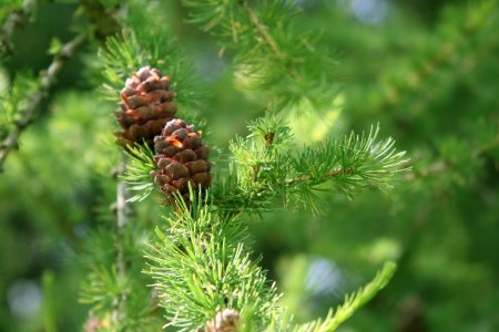 Coniferous tree branch with cones