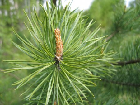 Coniferous tree branch with cone sprout