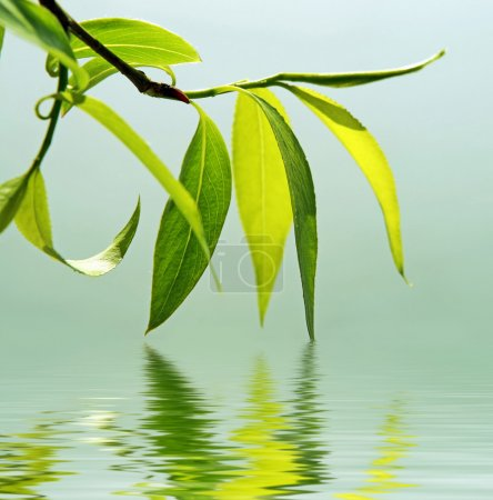 Photo for Green branch of a willow reflected in water - Royalty Free Image