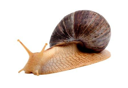 Photo pour Un escargot brun isolé sur fond blanc - image libre de droit